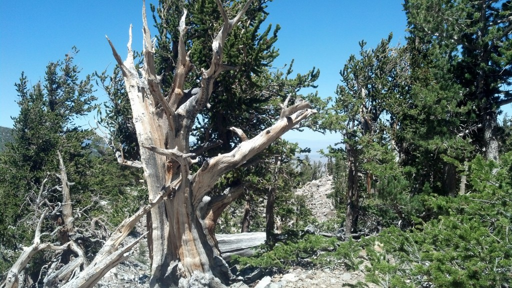 Some bristlecone pine trees on Mount Wheeler in Great Basin National Park. (Photo by Michael E. Grass)